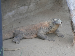 Taronga - Komodo Dragon