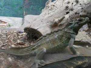 Taronga - lizard